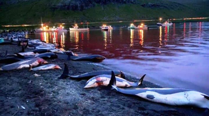 Dinamarca: Indignación por muerte de 1.400 delfines durante festival de caza en Islas Feroe