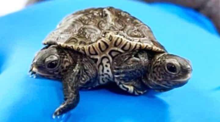 Tortuga que nació con dos cabezas y seis patas sigue con vida